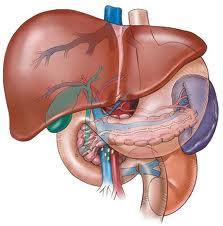 Sudoriferous  and sebaceous  glands